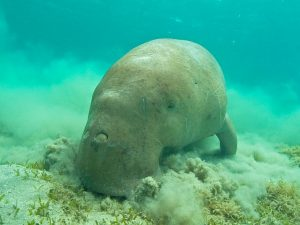 Dugong Abu Dabab diving