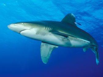Elphinstone Ausflug tauchen Hai