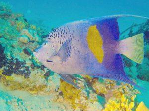 Arabischer Kaiserfisch Rotes Meer tauchen