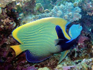 kaiserfisch Imperator Rotes Meer Hurghada tauchen
