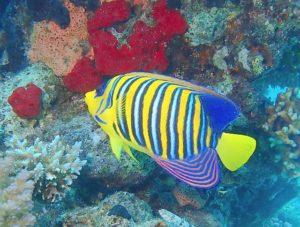 Kaiserfisch Arten Rotes Meer tauchen