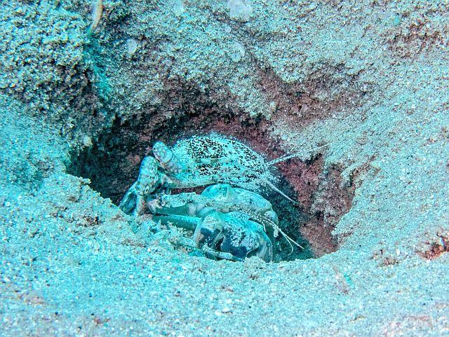 Fangschreckenkrebs tauchen